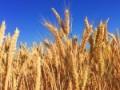 wheat-863392__480